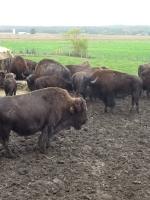 Il bufalo canadese