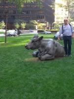 Angelo e le vacche terne (Toronto estate 2014)