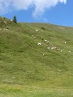 Mucche di Angela in Valtellina