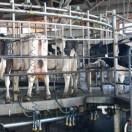 mucche2